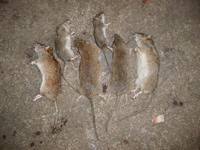 灭鼠效果展示