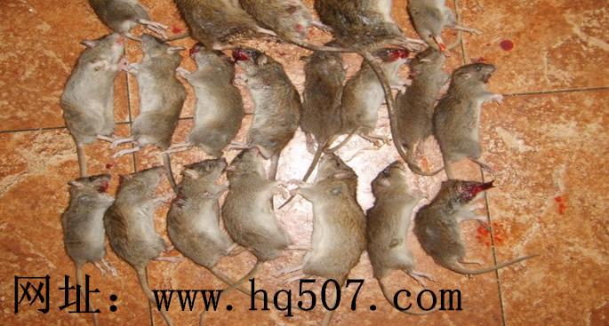 海侨公司环保灭鼠效果