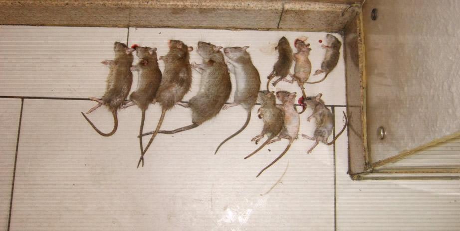 天津灭鼠公司灭鼠防治现场